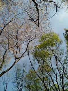 世田谷公園の桜と欅の若葉
