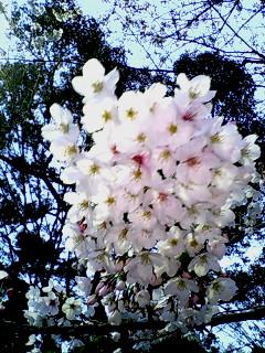 反町公園の桜