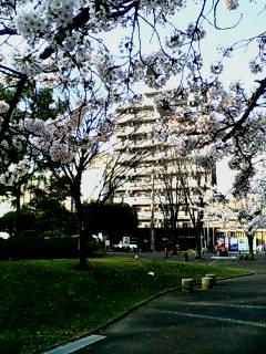 反町公園の桜2
