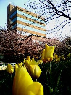 反町公園の桜3