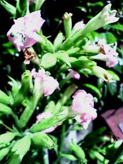 秦野駅前 タバコの花咲く