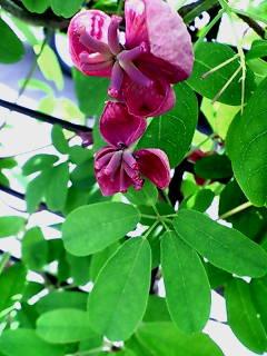 台町 アケビの花