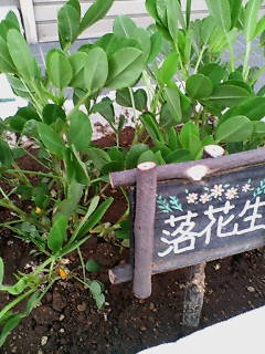 豆屋さんの落花生が開花しました