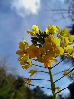 青い空と菜の花