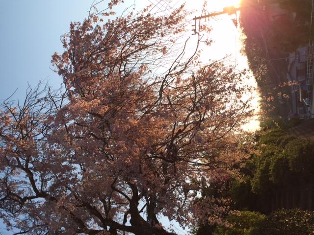 枝垂れ桜まだ咲いています