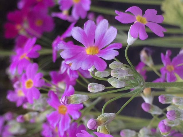 Cette_fleur_,_ça_s'appelle_une_primevère.